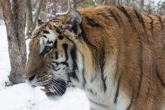 Σιβηρική τίγρη επάνω κοντά στο χιόνι στοκ εικόνα