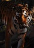 σιβηρική τίγρη πορτρέτων Στοκ φωτογραφίες με δικαίωμα ελεύθερης χρήσης