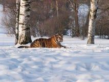Σιβηρική τίγρη που έχει το υπόλοιπο στο χιόνι - altaica Panthera Τίγρης Στοκ φωτογραφία με δικαίωμα ελεύθερης χρήσης