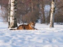Σιβηρική τίγρη που έχει το υπόλοιπο στο χιόνι - altaica Panthera Τίγρης Στοκ Εικόνα