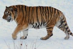Σιβηρική τίγρη που περπατά το χειμώνα στοκ εικόνα με δικαίωμα ελεύθερης χρήσης