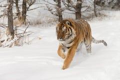 Σιβηρική τίγρη στο χιονισμένο πεδίο Στοκ Εικόνες