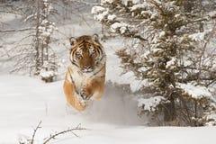 Σιβηρική τίγρη στο χιονισμένο πεδίο Στοκ φωτογραφία με δικαίωμα ελεύθερης χρήσης