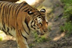 σιβηρική τίγρη Τίγρης panthera altaica Στοκ φωτογραφίες με δικαίωμα ελεύθερης χρήσης