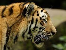 σιβηρική τίγρη Τίγρης panthera altaica Στοκ Εικόνα
