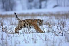 σιβηρική τίγρη χιονιού Στοκ Εικόνες