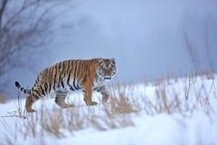 σιβηρική τίγρη χιονιού Στοκ φωτογραφία με δικαίωμα ελεύθερης χρήσης