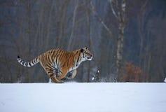 σιβηρική τίγρη χιονιού Στοκ εικόνες με δικαίωμα ελεύθερης χρήσης