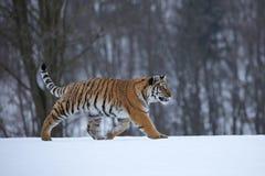 σιβηρική τίγρη χιονιού Στοκ φωτογραφίες με δικαίωμα ελεύθερης χρήσης