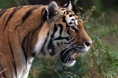σιβηρική τίγρη Στοκ Φωτογραφίες