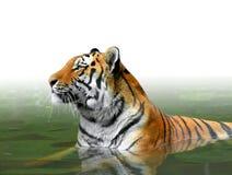 σιβηρική τίγρη Στοκ εικόνες με δικαίωμα ελεύθερης χρήσης