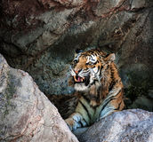σιβηρική τίγρη Στοκ Εικόνες