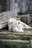 σιβηρική τίγρη Στοκ εικόνα με δικαίωμα ελεύθερης χρήσης