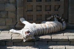 σιβηρική τίγρη Στοκ Εικόνα
