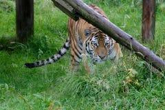Σιβηρική τίγρη (altaica Panthera Τίγρης) ή τίγρη Amur Στοκ Φωτογραφίες