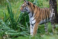 Σιβηρική τίγρη (altaica Panthera Τίγρης) ή τίγρη Amur Στοκ Εικόνες