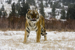 Σιβηρική τίγρη, altaica Panthera Τίγρης Στοκ Εικόνα