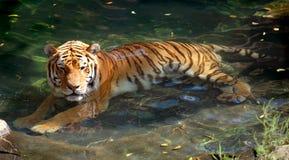 Σιβηρική τίγρη (Amur) στη λίμνη Στοκ Εικόνες