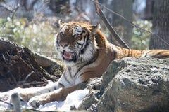 Σιβηρική τίγρη «Amur» Στοκ Φωτογραφία