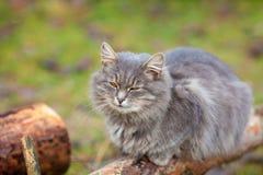 Σιβηρική χαλάρωση γατών στο ξύλινο κούτσουρο Στοκ φωτογραφίες με δικαίωμα ελεύθερης χρήσης