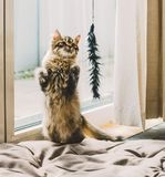 Σιβηρικός αγώνας γατακιών Αστείες στάσεις γατακιών στα οπίσθια πόδια και τα παιχνίδια του Στοκ φωτογραφία με δικαίωμα ελεύθερης χρήσης