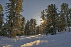 Σιβηρικός δασικός, χιονώδης χειμώνας κέδρων, η σκιά των δέντρων Στοκ εικόνα με δικαίωμα ελεύθερης χρήσης