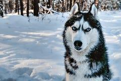 Σιβηρικός γεροδεμένος πορτρέτου το χειμώνα Στοκ Εικόνα