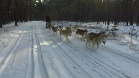 Σιβηρικός γεροδεμένος σε μια ομάδα σκυλιών Τρέξιμο στο δάσος που οδηγά στο έλκηθρο με μια σιβηρική γεροδεμένη ομάδα σκυλιών φιλμ μικρού μήκους