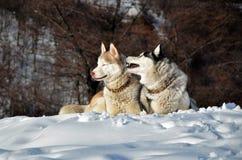 Σιβηρικός γεροδεμένος στο χιόνι Στοκ εικόνες με δικαίωμα ελεύθερης χρήσης