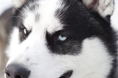 Σιβηρικός γεροδεμένος Στοκ φωτογραφίες με δικαίωμα ελεύθερης χρήσης