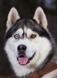 Σιβηρικός γεροδεμένος με τα μπλε μάτια portret Στοκ εικόνα με δικαίωμα ελεύθερης χρήσης