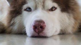 Σιβηρικός γεροδεμένος ξαπλώνει στο πάτωμα στοκ εικόνες
