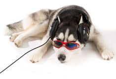 Σιβηρικός γεροδεμένος στα ακουστικά Στοκ φωτογραφία με δικαίωμα ελεύθερης χρήσης