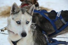 Σιβηρικός γεροδεμένος στο στρατόπεδο Musher στο φινλανδικό Lapland Στοκ Εικόνες