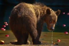 Σιβηρικός καφετής αντέχει - cub Στοκ εικόνες με δικαίωμα ελεύθερης χρήσης