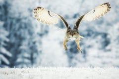 Σιβηρικός μπούφος Στοκ φωτογραφία με δικαίωμα ελεύθερης χρήσης