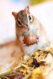 Σιβηρικός σκίουρος Στοκ εικόνα με δικαίωμα ελεύθερης χρήσης