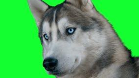 Σιβηρικός hasky σκυλιών Η πράσινη οθόνη απαρίθμησε ιδιαίτερα 4K το μήκος σε πόδηα Καθαρός ο άλφα Πυροβοληθείς στη μαύρη μαγική κά απόθεμα βίντεο