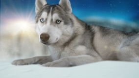 Σιβηρικός hasky σκυλιών στο χειμερινό υπόβαθρο 4K υψηλό λεπτομερές μήκος σε πόδηα Πυροβοληθείς στη μαύρη μαγική κάμερα κινηματογρ απόθεμα βίντεο