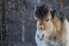 Σιβηρικό άλογο στοκ φωτογραφίες