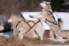 σιβηρικό έλκηθρο δύο παιχνιδιού σκυλιών huskies στοκ εικόνα
