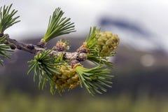 Σιβηρικό αγριόπευκο Στοκ εικόνες με δικαίωμα ελεύθερης χρήσης