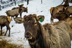Σιβηρικό αρσενικό ελάφι στην περίφραξη αλσατικό Ρωσία Στοκ Εικόνες