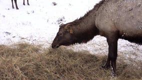 Σιβηρικό αρσενικό ελάφι στην περίφραξη αλσατικό Ρωσία φιλμ μικρού μήκους
