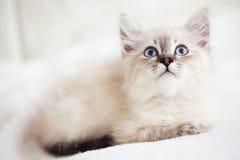 Σιβηρικό γατάκι Στοκ Εικόνες
