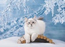Σιβηρικό γατάκι στη χειμερινή φύση στοκ φωτογραφίες με δικαίωμα ελεύθερης χρήσης
