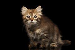 Σιβηρικό γατάκι στο απομονωμένο μαύρο υπόβαθρο Στοκ Εικόνες