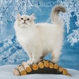 Σιβηρικό γατάκι στο χιόνι στοκ φωτογραφία με δικαίωμα ελεύθερης χρήσης