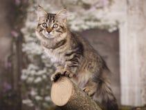 Σιβηρικό γατάκι στοκ εικόνα με δικαίωμα ελεύθερης χρήσης