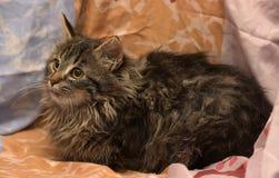 Σιβηρικό γατάκι Στοκ φωτογραφία με δικαίωμα ελεύθερης χρήσης